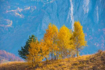 Obraz Birch trees in the autumn