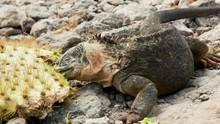 Galapagos Land Iguana Eating A...