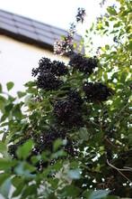 Elder Berries At The Tree