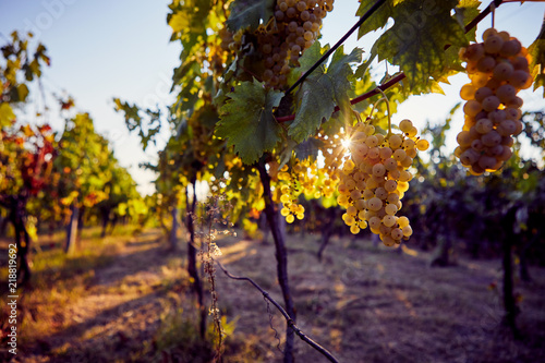 Yellow grapes on grapevine with sun rays in the vineyard