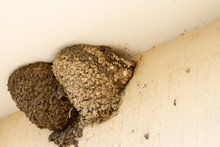 Two Swallow Nests Under The Roof Of A Bus Stop. Two Nests Of Urban Swallows From The Earth And Mud. Two Bird Nests Between The Wall And The Ceiling Of The Bus Stop.