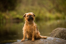 A Little Dog On A Stone By The River Brussels Griffon