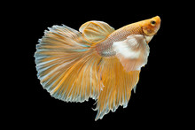 Betta Siamese Fighting Fish, B...
