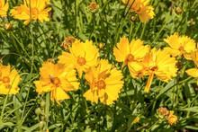 Bee Pollinating Yellow Daisy Flowers, Italy