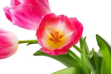 Panel Szklany Tulipany Pink tulip