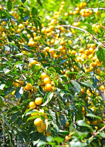 Ripe yellow cherry plum (Prunus cerasifera), background