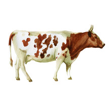 Watercolor Illustration, Cow. Domestic Animals Sketch. Illustration Isolated On White Background For Design,print Or Background.