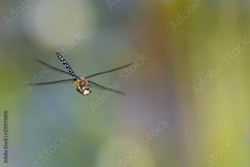 Blaugrüne Mosaikjungfer im Flug vor schönen Hintergrund