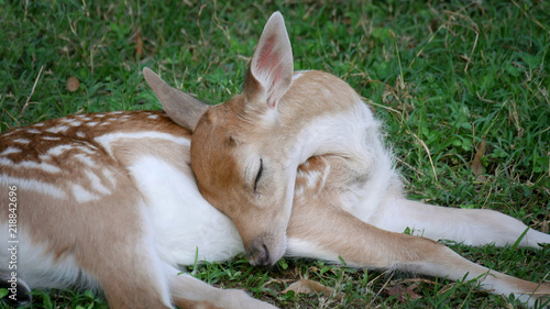 Young, baby deer laying and sleeping in the grass at meadow