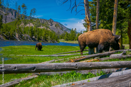 Fotografia Close up of dangerous American Bison Buffalo grazing inside the forest in Yellow
