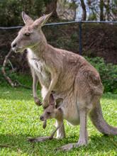Female Kangaroo With Her Joey ...