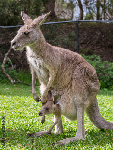 Female Kangaroo with Her Joey in Her Pouch, Australia
