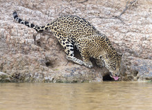 Female Jaguar Drinking From Ri...