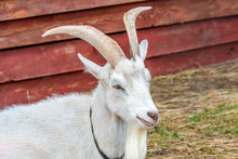 White Horned Goat Lies Next To Wooden House