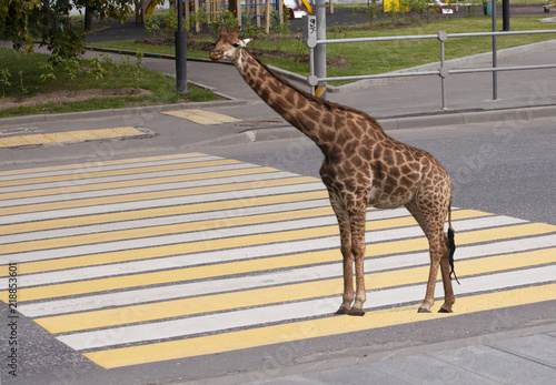 Giraffe standing on zebra traffic pedestrian crossing on road