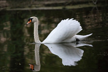 Swan Swimming With Reflection