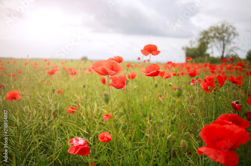 Field of wild flowering red poppies in country on sky background