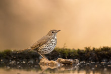Song Thrush Standing On A Rock In A Drinking-trough
