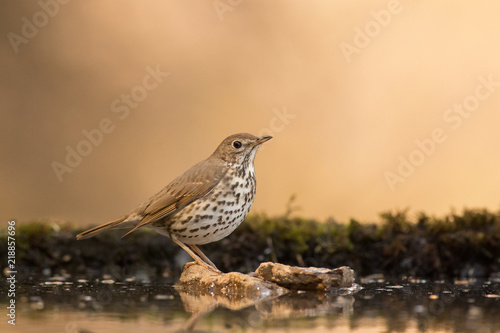 Fototapeta Song thrush standing on a rock in a drinking-trough