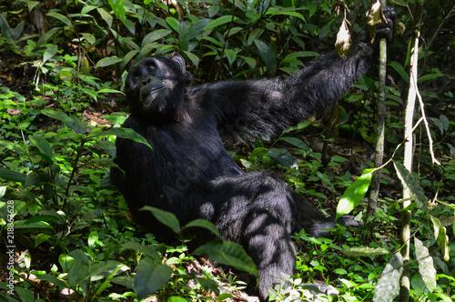 Plakat Szympans wisi i huśta się na drzewie; Park Narodowy Kibale, Uganda