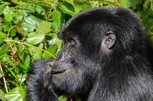 Kopf Nahaufnahme Eines Berggorilla; Bwindi Forest Impenetrable Forest National Park, Uganda