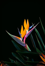Two Bird Of Paradise Flowers O...
