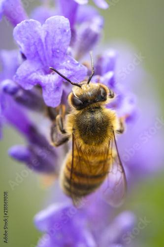 Photo Honey bee clings to lavendar.
