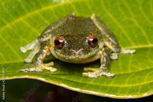 Tuinposter Kikker Tree Frog, Tree frog of Borneo, Tree frog on leaf , Frog of Borneo , Frog with isolated black background , Masked Tree Frog (Rhacophorus Angulirostris)