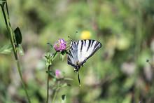 Scarce Swallowtail. Butterfly ...