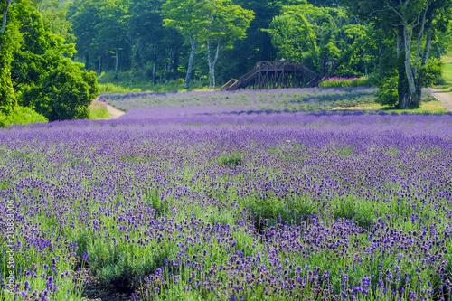高原のラベンダーパーク Tablou Canvas