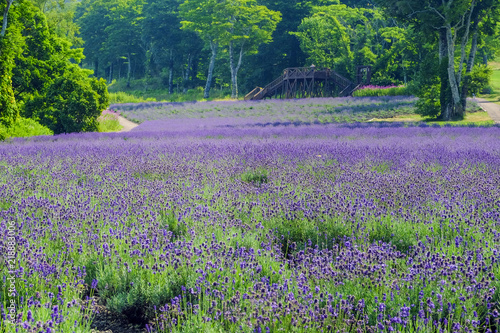 Fotografie, Obraz 高原のラベンダーパーク