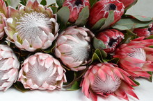 King Protea Bunch For Background