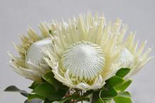 White Protea For Background