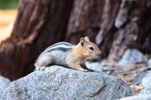 Gold-Mantled Ground Squirrel C...
