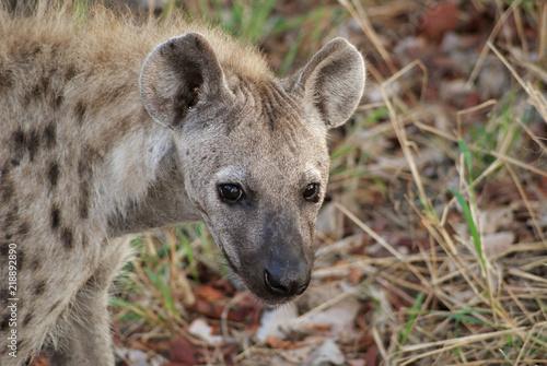 Foto op Aluminium Hyena SONY DSC