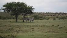 Zebras Hiding In The Shade Und...