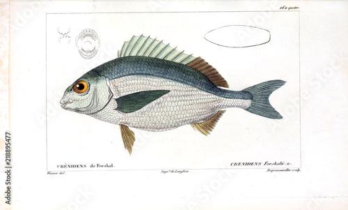 Fotografie, Tablou Illustration of fish