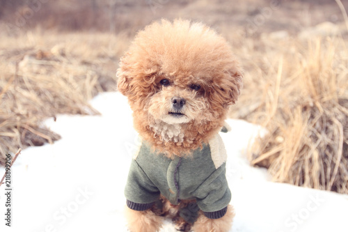 Photographie poodle dog on ice in winter
