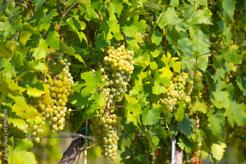 Photo  grape wine on Palava Vineyards, Czech Republic