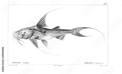 Fényképezés  Illustration of fish