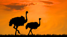 Silhouette The Two Ostrich On ...