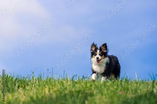Fotomural Nala the Miniature Australian Shepherd, summer vibes