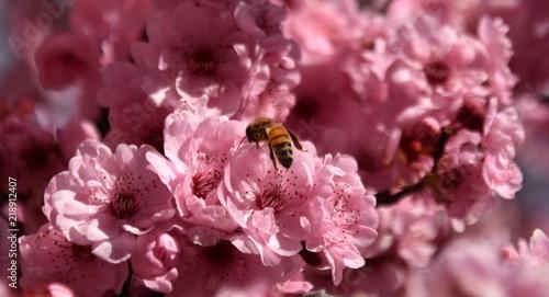 Bee on a pink cherry blossoms. Cherry flowers blossoming in the springtime. Pink cherry blossom in full bloom. Sakura Japanese cherry blossoms in the botanic garden.