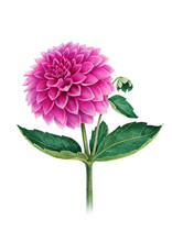 Watercolor Illustration Of  A Dahlia Flower. Perfect For Greeting Cards Or Invitations
