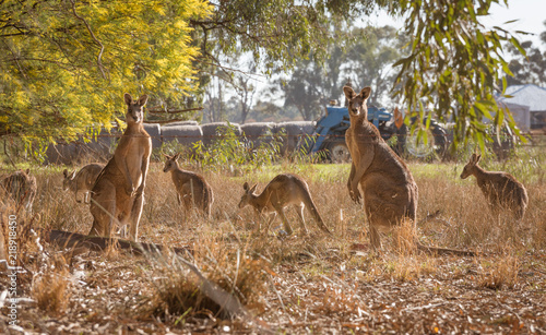 Group of kangaroos in the paddock at rural farm in Australian countryside in the morning