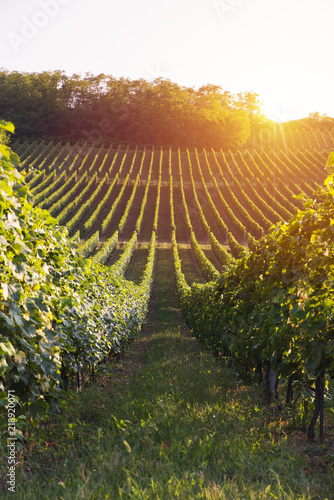 Foto auf Leinwand Weinberg vineyard with ripe grapes in countryside at sunset