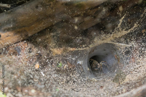 european funnel web spider in the wilderness - Agelenopsis