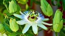 Close Up Of Passion Fruit Flower In Summer.