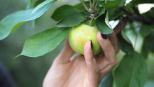 Female Hand Picking A Green Apple From A Branch, Close Up
