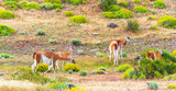 Guanaco lamas in national park Torres del Paine mountains, Patagonia, Chile, South America. With selective focus.